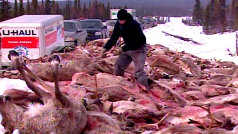 Labrador Innu Illegal Caribou Massacre, 2010 (CBC)