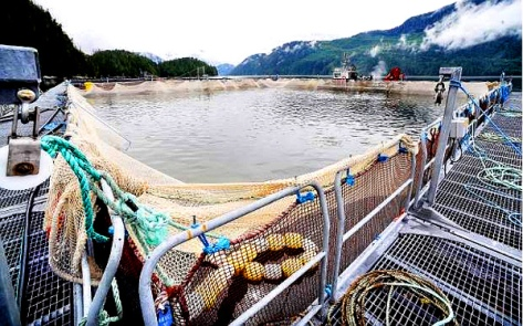 Fish Farm (BILL KEAY -- VANCOUVER SUN)